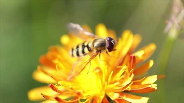 Méhecske gyűjti nektár virág crepis alpina