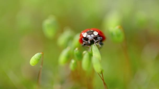 Close-up wildlife of a ladybug in the green grass in the forest. Macrocosm in the wild. Coccinella septempunctata, the seven-spot ladybird, is the most common ladybird in Europe.