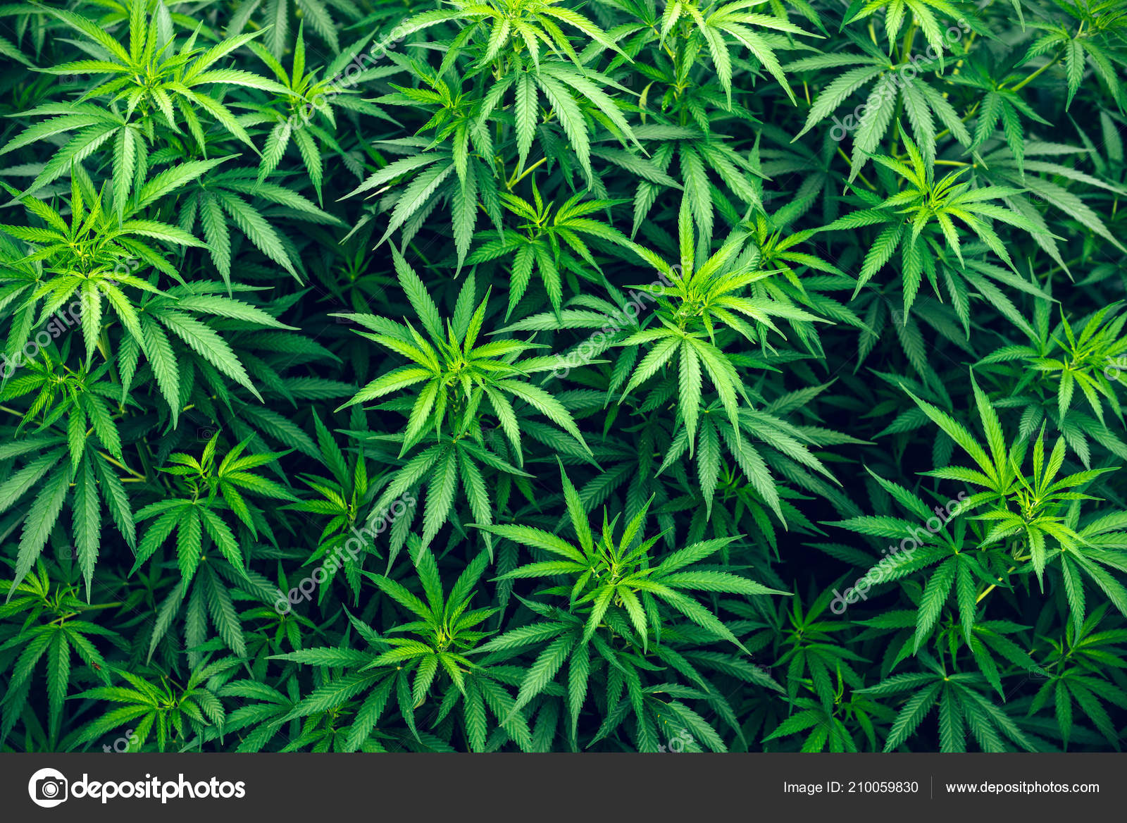 Фото обои с коноплей вы долго курите марихуану