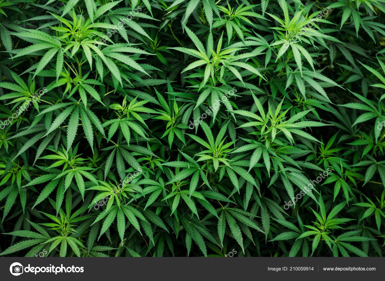 Обои фото марихуаны как выращивать марихуану форум