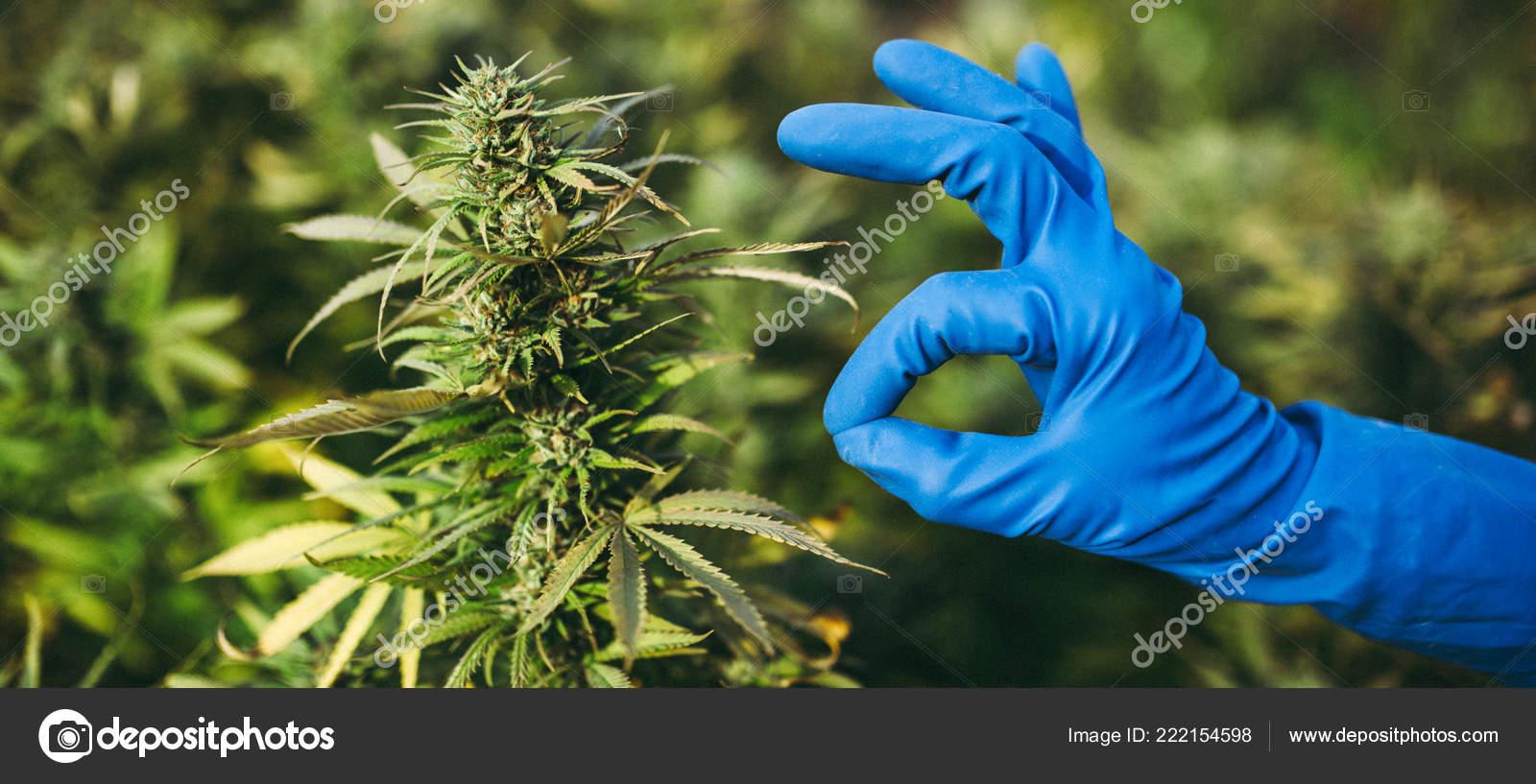Popular Marijuana Strain America Girl Scout Cookie Skunk Kush Girl