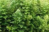 Fotografie bamboo green leaves and bushes of the Japanese garden, beautiful background