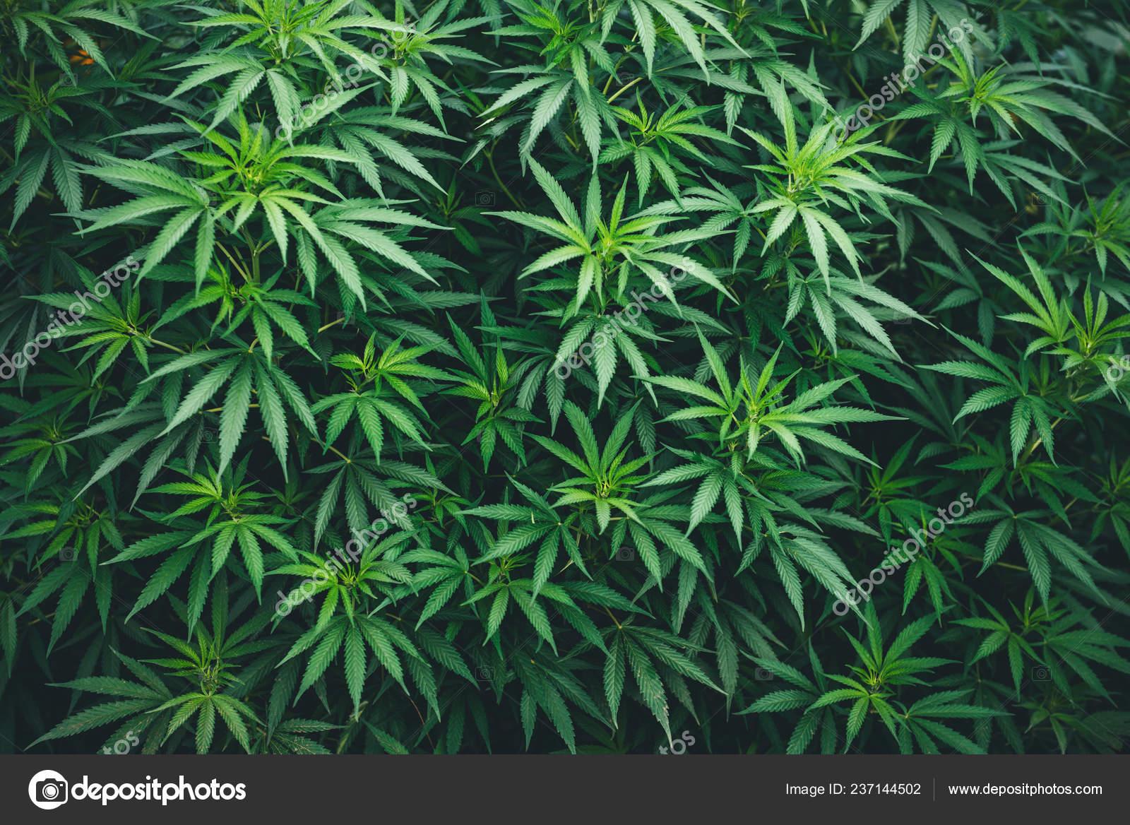 Картинки с марихуаной для рабочего стола сколько времени выводится из организма конопля