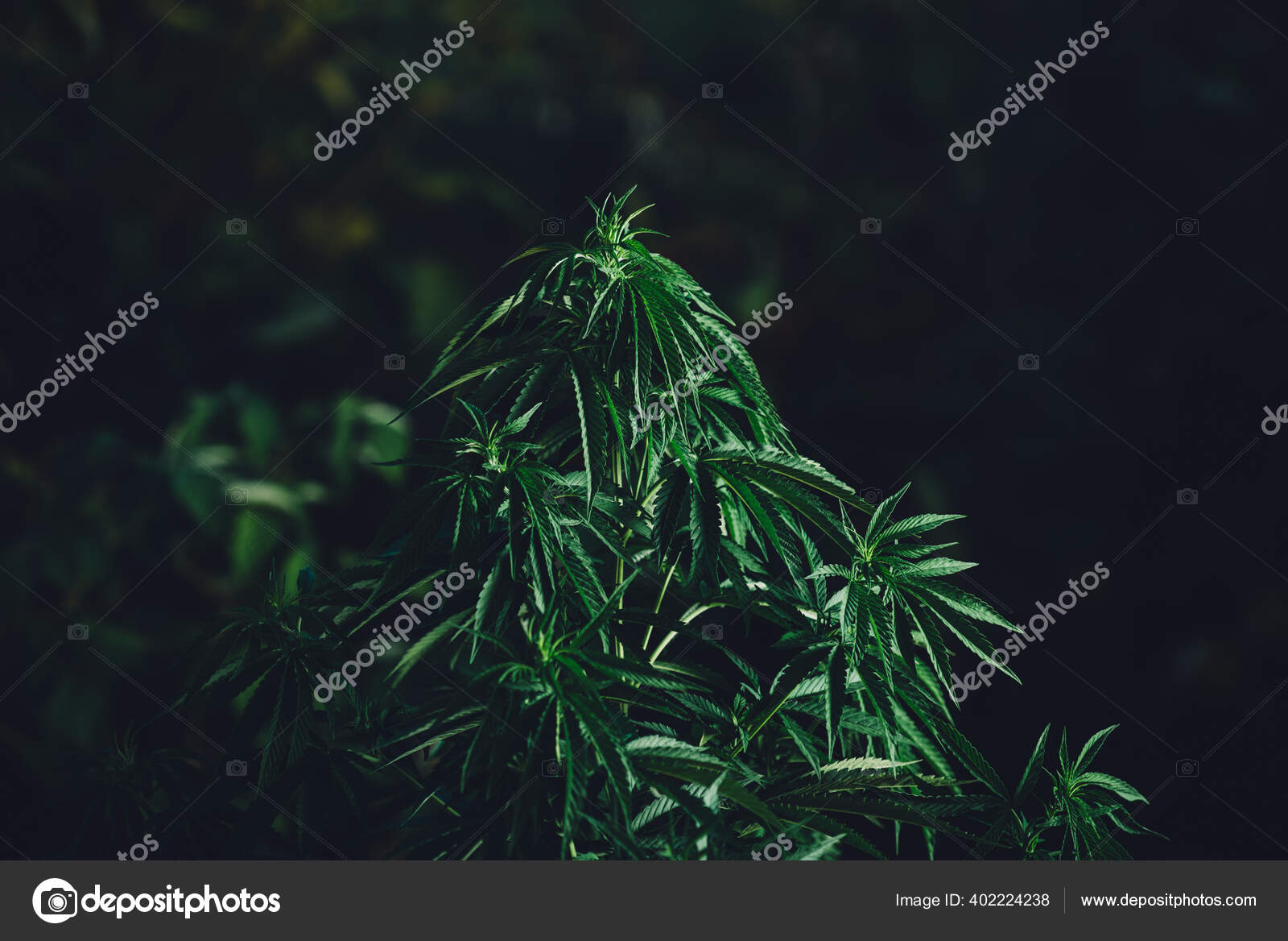 Словно цветок конопли ветру в саратове конопля