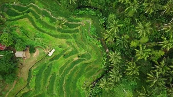 Aerial view of terrace paddy field in Tegalalang, Bali.
