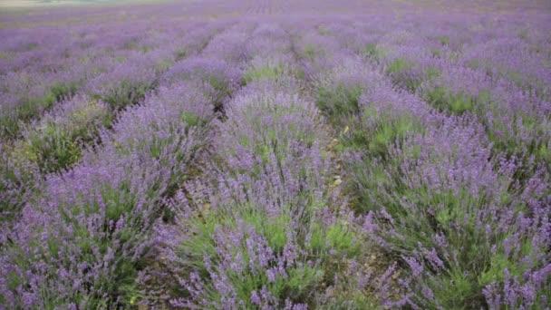 Velké pole kvetoucí levandule v zamračený den
