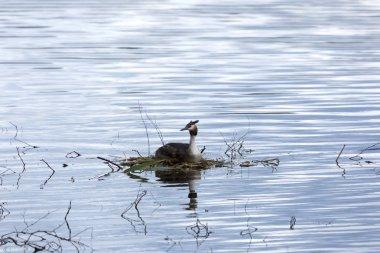 Bird chomga sits on the nest