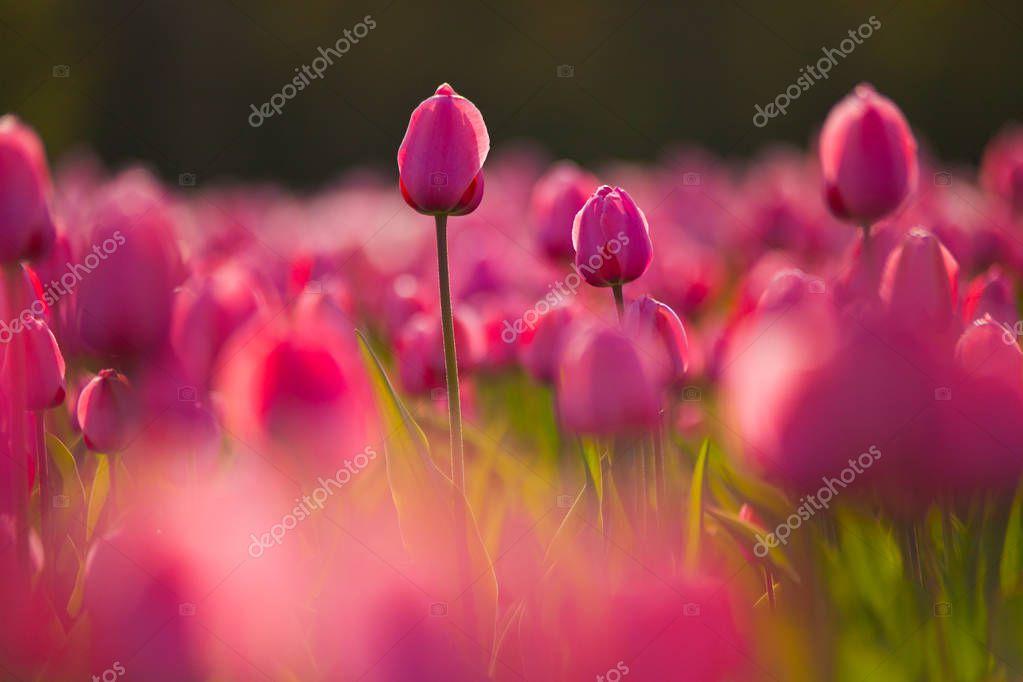 Colorful field of tulips, Netherlands. Keukenhof park, Holland.