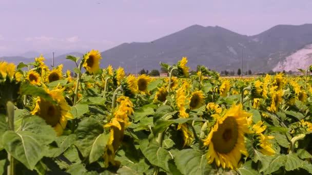 Pšeničné pole v Toskánsku Venkovská krajina s domem, cypřiš silniční a kopců, Itálie