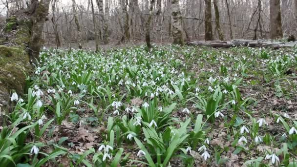 Forest glade with flowering Galanthus