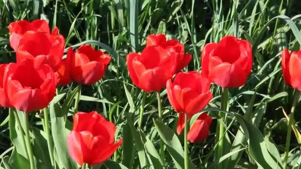 Közelkép a virágos-tavaszi napsütésben, vörös Tulipánokkal.
