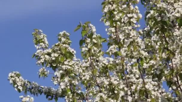 Flowering pear tree beautiful white flowers stock video kharhan flowering pear tree beautiful white flowers stock video mightylinksfo