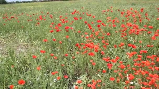 Piros Pipacsok virágzik a pályán. Nyári táj