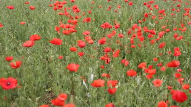 Piros Pipacsok virágzik a pályán. Nyári táj.