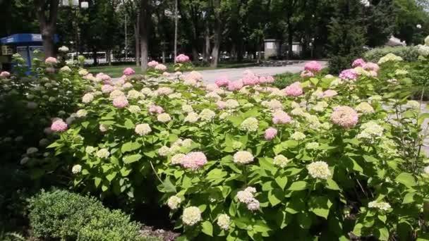 Hortenzie nebo hortensia je rod 7075 druhů kvetoucích rostlin, které jsou původní v Jižní a východní Asie a Ameriky