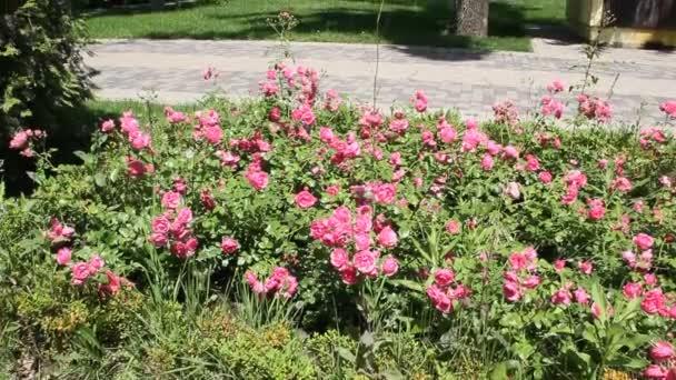 Hortensie oder Hortensie ist eine Gattung von 7075 Arten blühender Pflanzen, die in Süd- und Ostasien und den USA beheimatet sind.