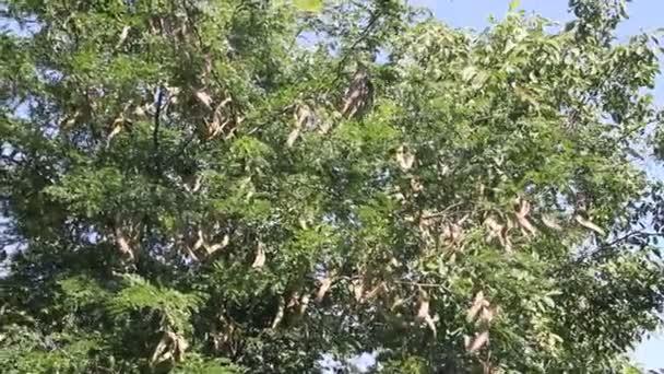 Honey svatojánský strom (Gleditsia triacanthos) s ovocem