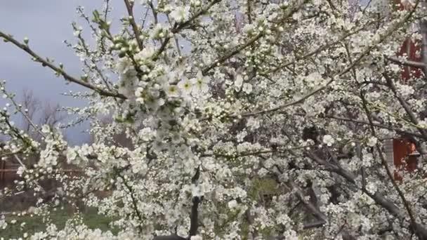 Jarní kvetoucí větve cherry plum