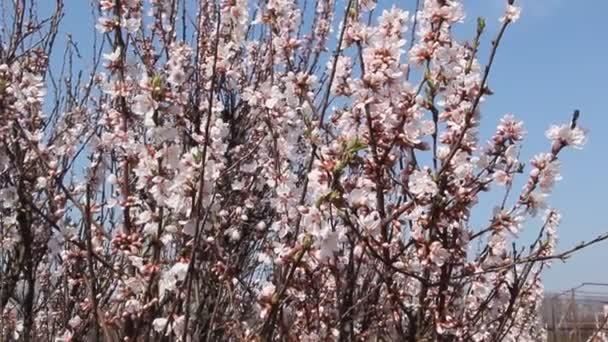 Sakura kvete světle růžovými květy. Větvemi třešňových květů proti obloze