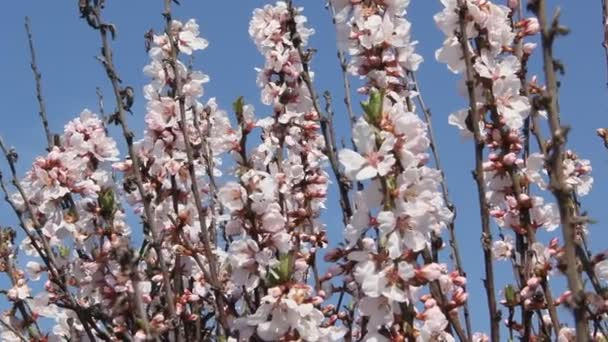 Sakura blooming pale pink flowers. Branches of cherry blossoms against the sky