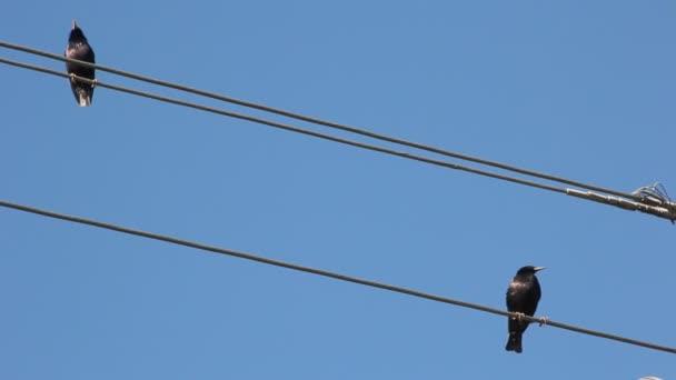 Starlingová zpívá, sedí na elektrický drát. Špačci proti modré obloze