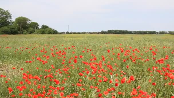 Red poppies bloom on the field. Summer landscape.