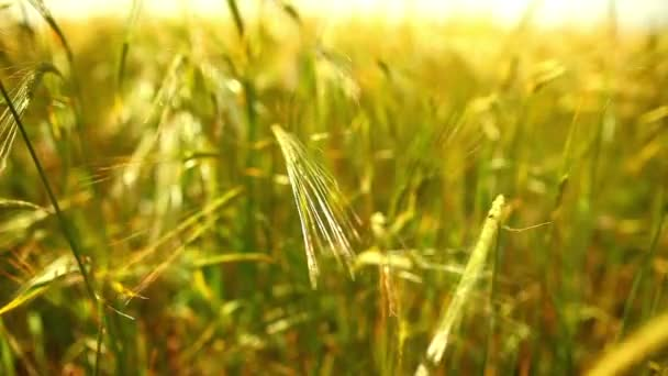 Wheat field close-up view.