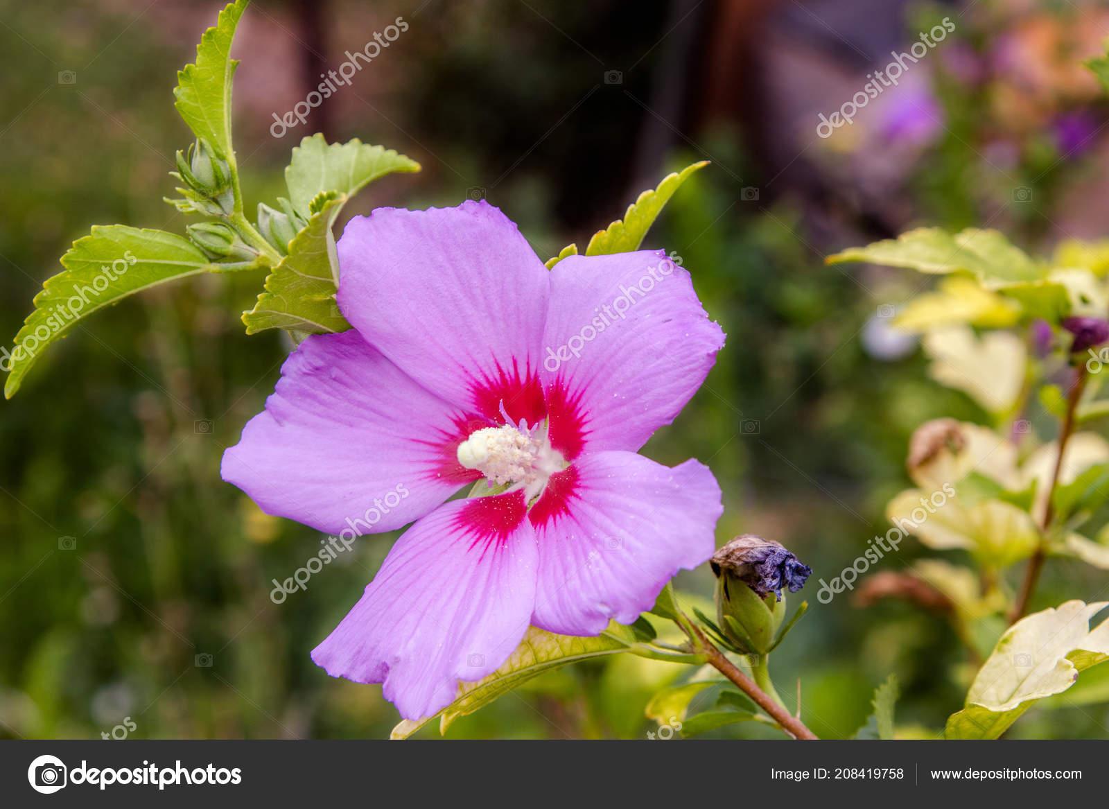Image Beautiful Flower Chinese Hibiscus Purple Stock Photo