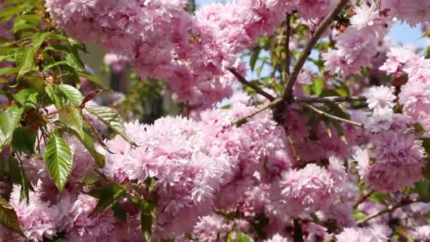 Branches of blooming pink sakura (flowering cherry) swaying on the wind in spring