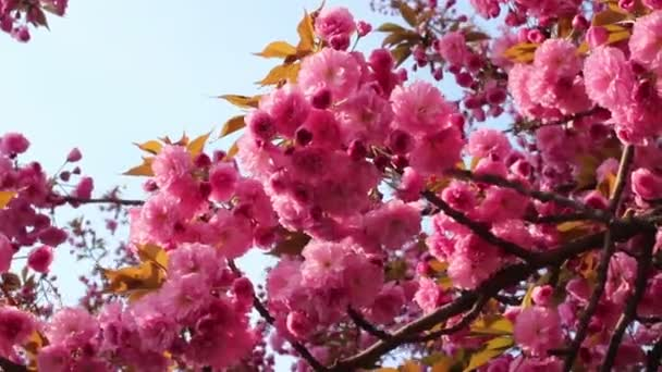Větve kvetoucího růžového sakury (kvetoucí třešňový vichr) se houpe na jaře