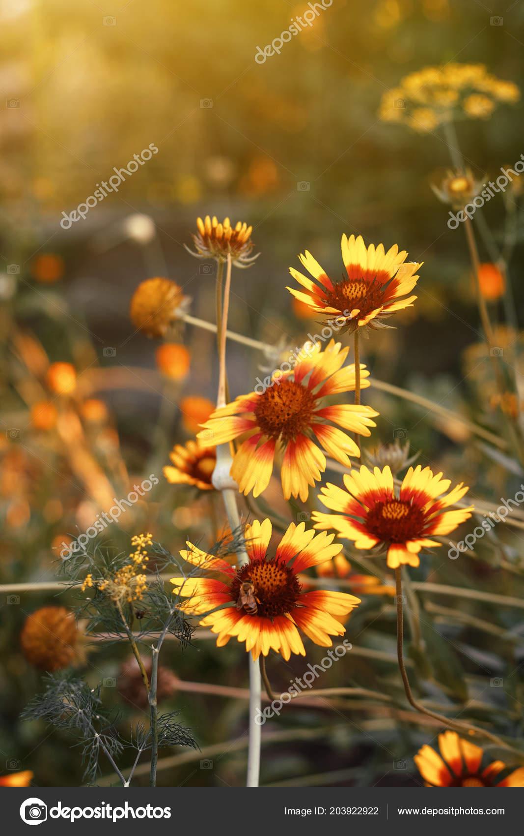 Beautiful bright yellow flower helenium blooming green meadow beautiful bright yellow flower helenium blooming green meadow stock photo mightylinksfo