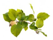 Fotografie Green branch of quince with unripe fruit on white isolated background