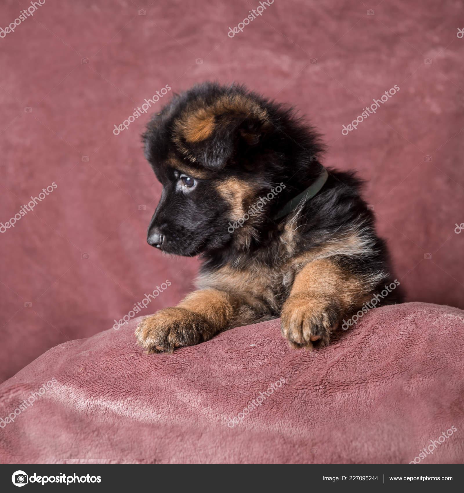 Long Haired German Shepherd Puppy Studio Portrait Stock Photo C Juliasha 227095244