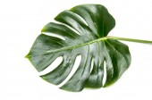 green monstera leaf isolated