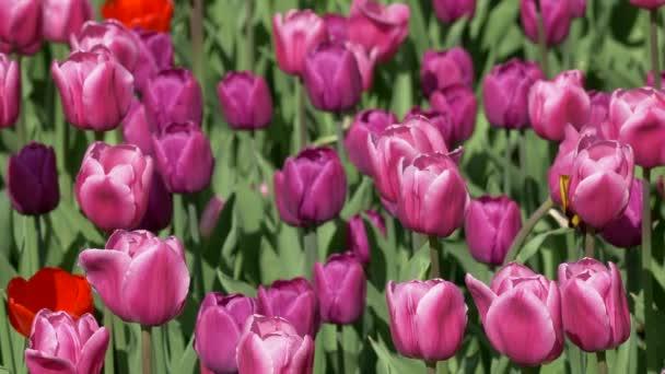 Tulipány jako pozadí Swaye ve větru, fotoaparát, přesun