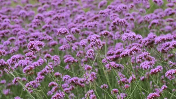 Beautiful Blooming Purple Flowers Meadow Swaying Wind Flower