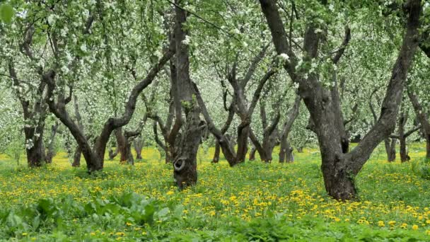 Old apple orchard blooming in springtime. Yellow dandelions between tree trunks.