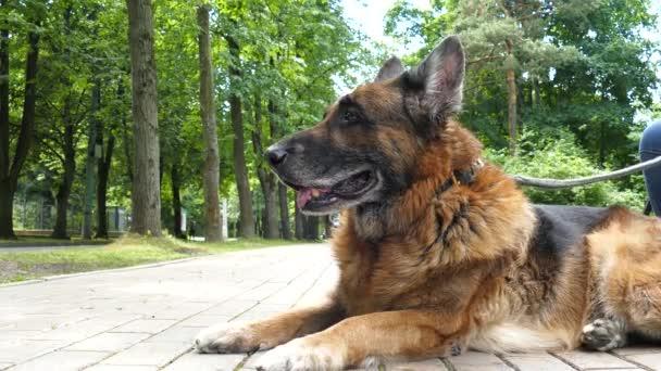 starý pes venku
