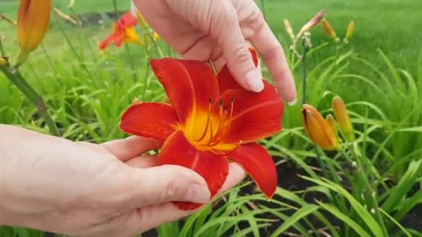 szép piros liliom virág