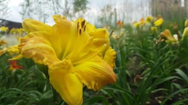 Gyönyörű sárga liliom virág fajták a a virágágyásba