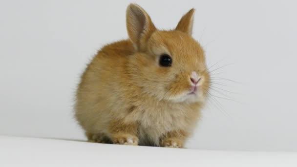 Zlatý králík ve studiu