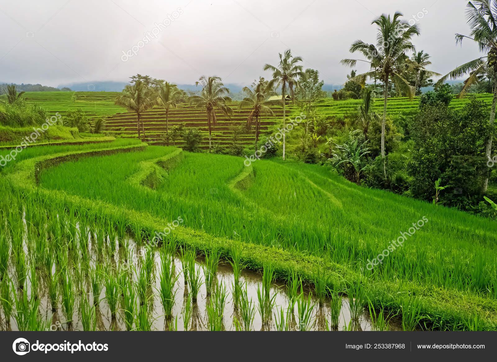 Hermosas Terrazas Con Cultivo De Arroz Foto De Stock
