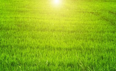 Spring sunset Green backgrounds rice field in Asia agriculture, vintage nature background