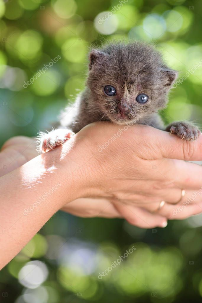 sweet newborn grey kitten in the  hands