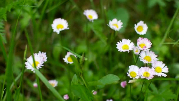 Summer field with white daisies.