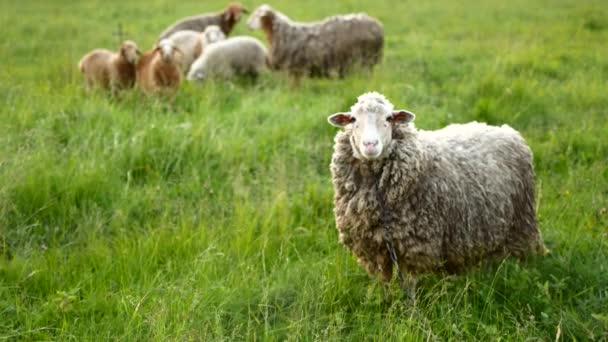 Ovce s jehněčím, při pohledu na fotoaparát a bleats
