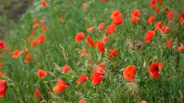 Červené máky pole. Pole máku květiny. Makové květy kymácející, vlaje ve větru