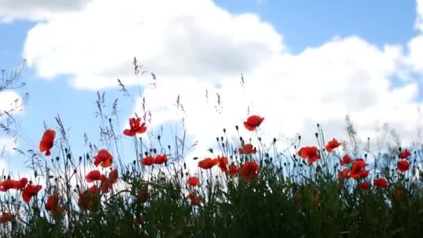 Piros pipacs mező. Mák virág mező. Mák virág imbolygott, csapkodott a szélben
