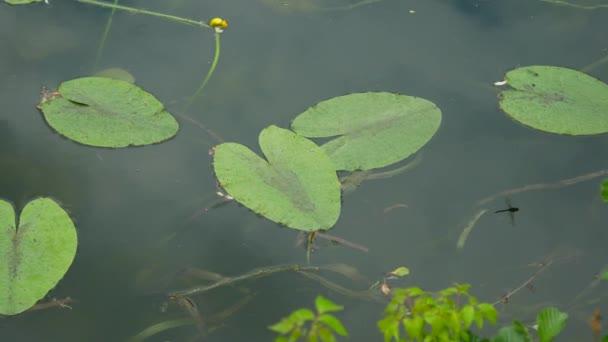 szitakötő ül a liliom és a fly