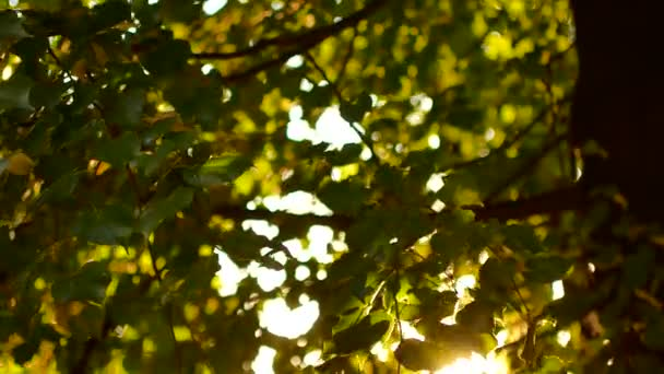 Beautiful natural green sunshine bokeh background. Blurry fresh summer foliage of maple trees in backlight of sunset cozy shining sun with sunflares and sunbeams